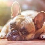 フレンチブルドッグの脳炎の症状と対策