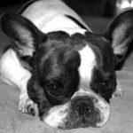 フレンチブルドッグの中でも値段の高いパイドの子犬。成犬の交配で可愛いパイドを産ませたい。