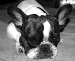 フレンチブルドッグ パイド 値段 子犬 成犬 交配